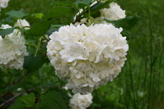 Snowball bush white bloom. Snowball bush giant white bloom Stock Photo
