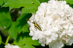 Snowball flower crawl black yellow coleopteran bug. Snowball on a white inflorescence downwind crawls small beautiful black and yellow coleopteran beetle with Royalty Free Stock Image