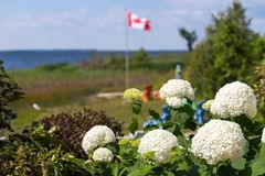 Snowball flower with a lakefront property and Canadian flag in the background. stock images