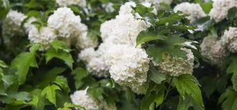 Snowball flowers (Viburnum opulus) Stock Images