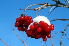Snowball tree berryes under snow Royalty Free Stock Photo