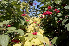A snowball tree with fruit in early autumn. Widespread garden plant, notable for its bright red fruits remaining on the branches of plants before winter, which Royalty Free Stock Photography