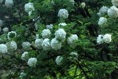 Snowball tree. Garden plant. Royalty Free Stock Photos