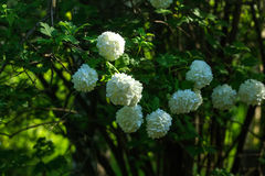 Snowball tree. Garden plant. Royalty Free Stock Images