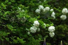 Snowball tree. Garden plant. Royalty Free Stock Photo