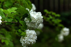 Snowball tree. Garden plant. Stock Image