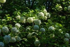 Snowball tree. Garden plant. Stock Photo