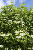 Snowball tree Stock Photos