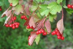 Snowball-tree, guelder-rose, viburnum. Autumn, snowball-tree, guelder-rose, viburnum Royalty Free Stock Images