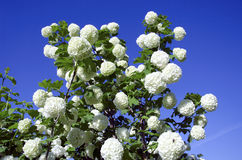 Snowball white blooms on blue sky. Viburnum opulus Royalty Free Stock Image