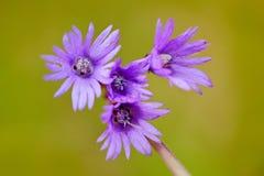 Snowbell alpino, Soldanella Montana, fiore viola di rosa selvaggio dalla fioritura della foresta durante la molla Un fiore di tre Fotografia Stock Libera da Diritti