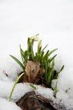 Snowbell Soldanella blommor som spirar till och med Snow Royaltyfria Bilder