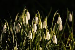 Snowbells en la primera luz Fotografía de archivo
