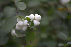 Snowberries Photographie stock libre de droits