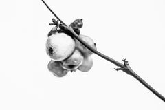 Snowberries Royalty Free Stock Image