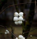 Snowberries (Symphoricarpos) Fotografering för Bildbyråer