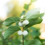 Snowberries, Symphoricarpos Photo libre de droits