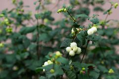 Snowberries Symphoricarpos Albus in garden. 