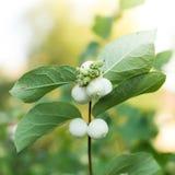 Snowberries, Symphoricarpos Royalty Free Stock Photo