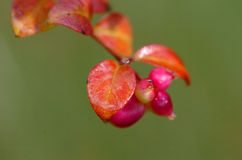 Snowberry Στοκ Φωτογραφίες