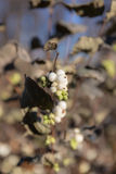 Snowberry branch in autumn Stock Images
