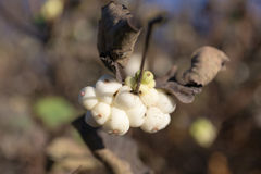 Snowberry branch with berries Stock Photos