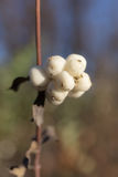Snowberry branch closeup Royalty Free Stock Image