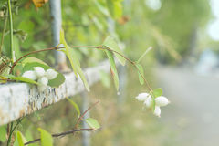 Snowberry bush, branch with white berries Stock Images