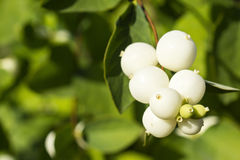Snowberry bush close. Snowberry bush fruits macro in autumn Stock Photography