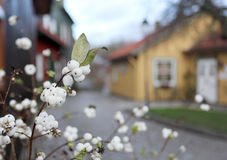 Snowberry bush groing on the sweden city street Royalty Free Stock Photography