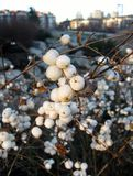 Snowberry bush with white fruits in winter Royalty Free Stock Images