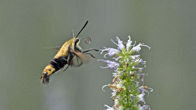 Free Snowberry Clearwing Royalty Free Stock Images - 96880589