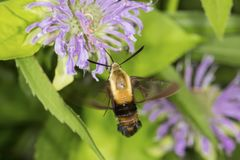 Snowberry clearwing hawk moth foraging on lavender bee balm flow. Snowberry clearwing hawk moth, Hemaris diffinis Sphingidae caught in flight while foraging for Stock Image