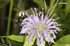 Snowberry clearwing hawk moth foraging on lavender bee balm flow. Snowberry clearwing hawk moth, Hemaris diffinis Sphingidae caught in flight while foraging for Royalty Free Stock Images