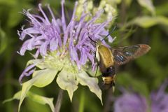 Snowberry clearwing hawk moth foraging on lavender bee balm flow. Snowberry clearwing hawk moth, Hemaris diffinis Sphingidae caught in flight while foraging for Royalty Free Stock Photo