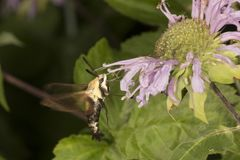 Snowberry clearwing hawk moth hovering near a bee balm flower. Snowberry clearwing hawk moth, Hemaris diffinis Sphingidae caught in flight while foraging for Royalty Free Stock Images