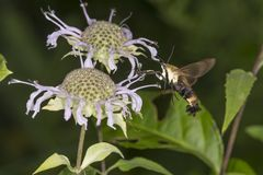 Snowberry clearwing hawk moth hovering at a bee balm flower. Snowberry clearwing hawk moth, Hemaris diffinis Sphingidae caught in flight while hovering near a Stock Image