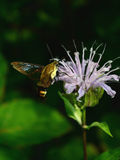 Snowberry Clearwing Stock Photos