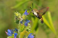 Snowberry Clearwing Moth - Hemaris diffinis. Snowberry Clearwing Moth collecting nectar from a Viper`s Bugloss flower. Also known as a Hummingbird Moth. Lower royalty free stock photography