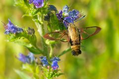 Snowberry Clearwing Moth - Hemaris diffinis. Snowberry Clearwing Moth collecting nectar from a Viper`s Bugloss flower. Also known as a Hummingbird Moth. Lower stock photography