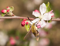 Snowberry Clearwing moth. Feeding on an apple flower in early spring Royalty Free Stock Images