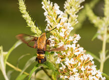 Snowberry Clearwing moth in flight. Feeding on white flower cluster of a Butterfly bush Royalty Free Stock Photography