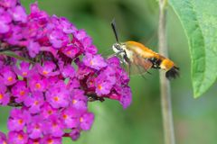 Snowberry Clearwing Moth - Hemaris diffinis Royalty Free Stock Images