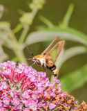 Snowberry Clearwing moth hovering and feeding. On pink Buddleia blooms Stock Photos