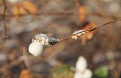 Snowberry Stock Images