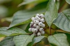 Snowberry después de la lluvia Imagen de archivo libre de regalías