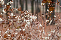 Snowberry Fruit in Winter Stock Photography