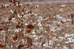 Snowberry Fruit in Winter Royalty Free Stock Images