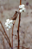Snowberry Fruit in Winter Royalty Free Stock Photo