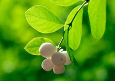 Snowberry on the green background in a forest Royalty Free Stock Images